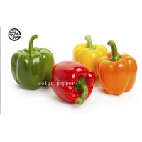 China Anti - Cancer Multi Colored Peppers High Nutritional And Edible Value wholesale