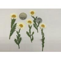 China Fashion Dried Pressed Flowers White Chrysanthemum / Stem For Leaf Vein Bookmark Gifts wholesale