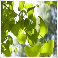 Buy cheap ginkgo biloba leaf extract 24/6 free samples from wholesalers