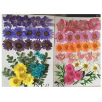 China Raw Material Colorful DIY Pressed Flowers Plant Specimens For Kindergarten wholesale