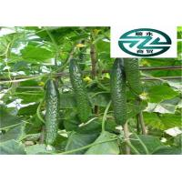 China Fresher Breath Cucumber Family Vegetables Beneficial To Cure Gum Disease wholesale