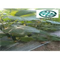 China Nutritious Cuke Vegetable Benefit Kidney Effective Against Skin Aging wholesale