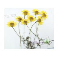 China Chrysanthemum DIY Pressed Flowers Specimens Plants For Living Room Decoration wholesale