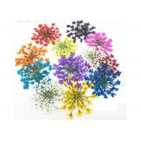 Quality Mixed Color Minoan Lace Real Pressed Flowers Diameter 25MM For Crystal Epoxy Jewelry for sale