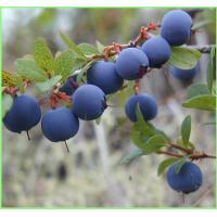 China Bilberry extract---New Mstar---Simin wholesale