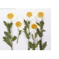 China Nature DIY Pressed Flowers White Chrysanthemum On Stems For Holidays Cards wholesale