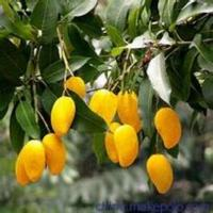 China 100% natural Wild mango extract mangiferin wholesale
