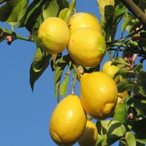 China fruit powder pure Lemon Fruit Powder wholesale