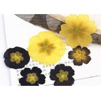 China Primula Auricula Yellow / Black Real Pressed Flowers Resin Phone Case For Aroma Candle Decoration wholesale