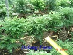 Quality Araucaria for sale