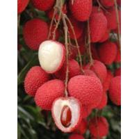 Quality Lychee Tree Brewster Variety Air-Layered for sale