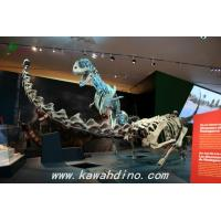 Quality Dinosaur Fossil Replicas Product Dino Skeleton in Museum for sale