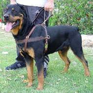 China Tracking / Pulling / Agitation Leather Dog Harness For Rottweiler H5 wholesale