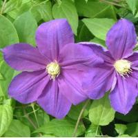 China Climbers Clematis Sho-Un wholesale