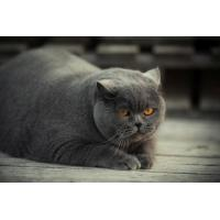 Gray Fat Cat Wallpaper for Android, iPhone and iPad
